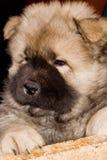 Filhote de cachorro do puro-sangue de uma comida Fotografia de Stock