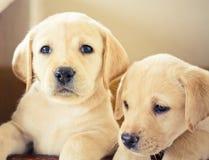 Filhote de cachorro do retriever de Labrador Imagens de Stock