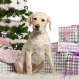 Filhote de cachorro do Retriever de Labrador, 3 meses velho, sentando-se Fotos de Stock Royalty Free