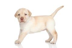 Filhote de cachorro do retriever de Labrador Foto de Stock Royalty Free
