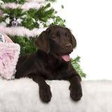 Filhote de cachorro do Retriever de Labrador, 5 meses velho, encontrando-se Fotos de Stock Royalty Free