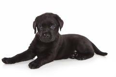 Filhote de cachorro do Retriever de Labrador Fotografia de Stock