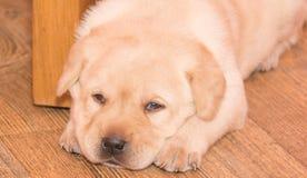Filhote de cachorro do retriever de Labrador Fotos de Stock