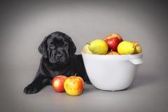 Filhote de cachorro do retriever de Labrador Fotos de Stock Royalty Free