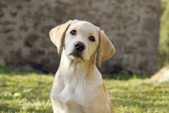 Filhote de cachorro do retriever de Labrador na jarda Fotografia de Stock Royalty Free