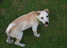 Filhote de cachorro do Retriever de Labrador que olha a câmera Fotografia de Stock Royalty Free