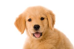 Filhote de cachorro do Retriever dourado Foto de Stock Royalty Free