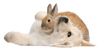 Filhote de cachorro do Retriever dourado, 20 semanas velho Imagens de Stock