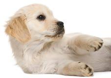 Filhote de cachorro do Retriever dourado, 20 semanas velho Fotografia de Stock Royalty Free