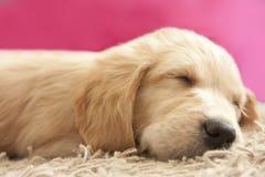 Filhote de cachorro do retriever dourado 6 adormecidos velhos das semanas Fotos de Stock Royalty Free