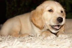 Filhote de cachorro do retriever dourado 6 semanas velho Fotos de Stock
