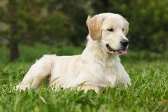 Filhote de cachorro do retriever dourado Foto de Stock