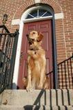 Filhote de cachorro do Retriever dourado Fotografia de Stock Royalty Free