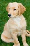 Filhote de cachorro do Retriever dourado Imagem de Stock Royalty Free