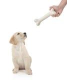 Filhote de cachorro do retriever dourado aproximadamente para morder um osso Imagem de Stock