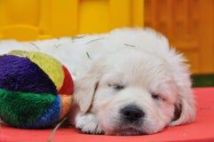 Filhote de cachorro do retriever dourado do sono Imagem de Stock Royalty Free