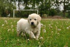Filhote de cachorro do retriever dourado entre dentes-de-leão Imagem de Stock