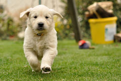 Filhote de cachorro do retriever dourado funcionado da vista dianteira Fotografia de Stock Royalty Free