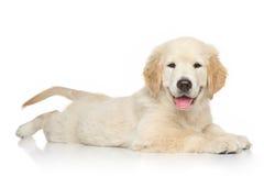 Filhote de cachorro do retriever dourado no fundo branco imagens de stock