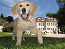 Filhote de cachorro do Retriever dourado no jardim Imagem de Stock Royalty Free