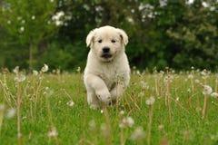 Filhote de cachorro do retriever dourado que funciona entre dentes-de-leão Foto de Stock