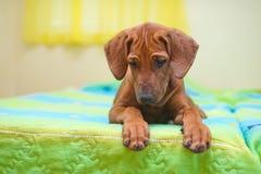 Filhote de cachorro do ridgeback de Rhodesian em uma cama imagens de stock