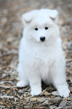 Filhote de cachorro do Samoyed Foto de Stock Royalty Free