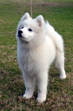 Filhote de cachorro do Samoyed. Foto de Stock Royalty Free