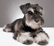 Filhote de cachorro do schnauzer diminuto imagem de stock