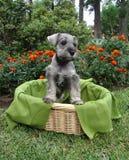Filhote de cachorro do Schnauzer na cesta foto de stock royalty free