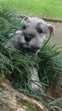Filhote de cachorro do Schnauzer na grama Imagens de Stock Royalty Free
