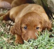 Filhote de cachorro do setter irlandês na grama Imagem de Stock Royalty Free