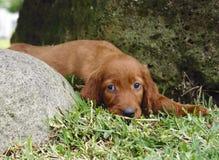 Filhote de cachorro do setter irlandês na grama Fotografia de Stock Royalty Free