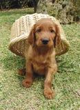 Filhote de cachorro do setter irlandês sob uma cesta fotografia de stock