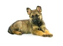 Filhote de cachorro do sheep-dog de Alemanha Imagens de Stock