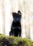 Filhote de cachorro do Sheep-dog de Alemanha Fotos de Stock