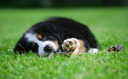Filhote de cachorro do sheepdog de Berna. Fotos de Stock Royalty Free