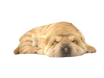 Filhote de cachorro do sono Imagem de Stock