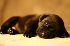 Filhote de cachorro do sono Foto de Stock