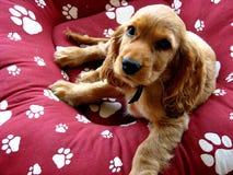 Filhote de cachorro do Spaniel Imagem de Stock