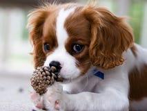 Filhote de cachorro do Spaniel Fotografia de Stock