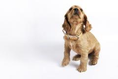 Filhote de cachorro do Spaniel de Cocker imagem de stock royalty free