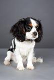 Filhote de cachorro do Spaniel de rei Charles Foto de Stock
