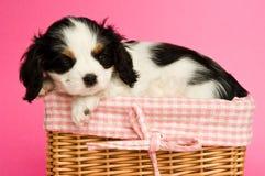 Filhote de cachorro do Spaniel de rei Charles Imagem de Stock
