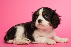 Filhote de cachorro do Spaniel de rei Charles Fotografia de Stock