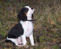 Filhote de cachorro do Spaniel de rei Charles Fotos de Stock