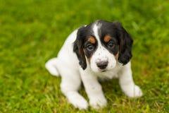 Filhote de cachorro do spaniel de Springer Foto de Stock