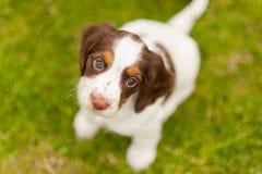 Filhote de cachorro do spaniel de Springer Imagem de Stock
