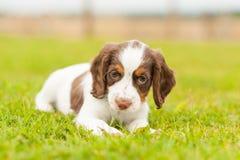 Filhote de cachorro do spaniel de Springer Fotos de Stock
