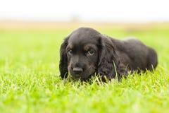 Filhote de cachorro do spaniel de Springer Imagem de Stock Royalty Free